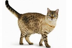 a-bengal-cat-935179217
